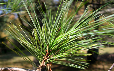 borove iglice za bronhitis