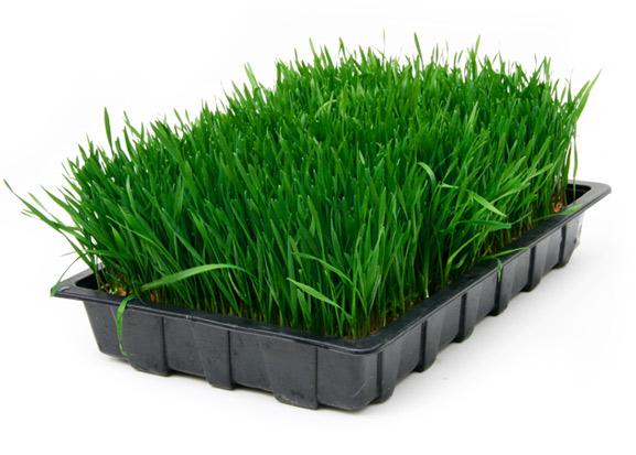 mlada zelena trava