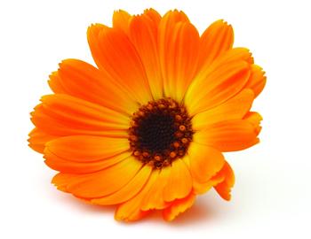 cvet nevena ilustracija.