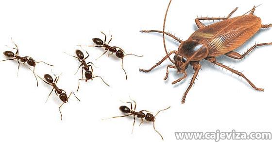 mravi bubasvabe