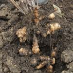 čičoka sadnja i uzgajanje