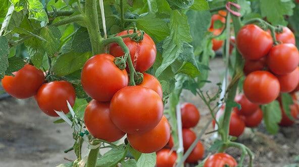 paradajz ilustracija.