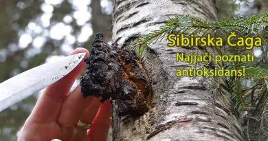 sibirska gljiva chaga