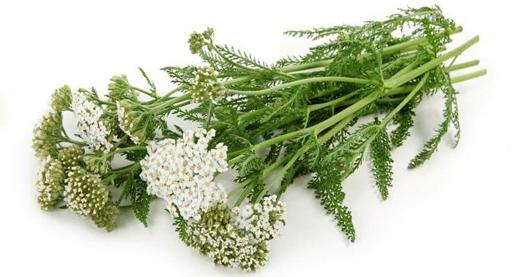 hajducka trava lekovita svojstva