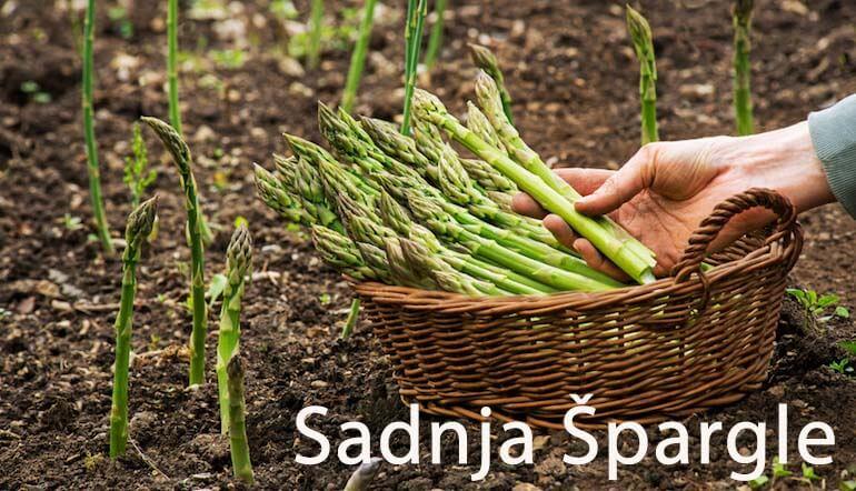 spargla sadnja i uzgajanje
