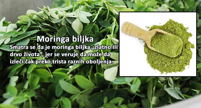 Ilustracija moringa biljke sa tekstom.