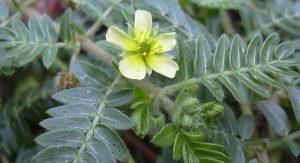 biljka tribulus koja raste na balkanu.