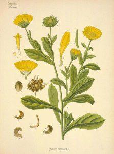 Slika Magične Biljke Neven.