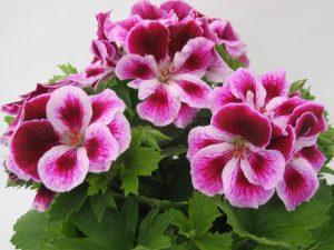 cvet pelargonije.