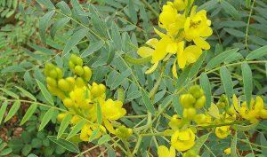 slika biljke sene u prirodi.
